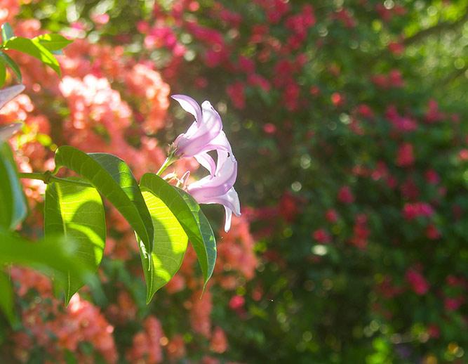 Flowers in the garden at Sloop Jones on the East End of St. John